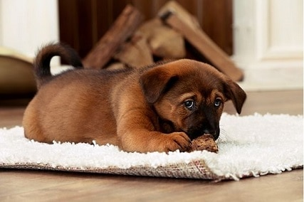 How to Get Old Dog Poop Stains Out of Carpet with Home Remedies