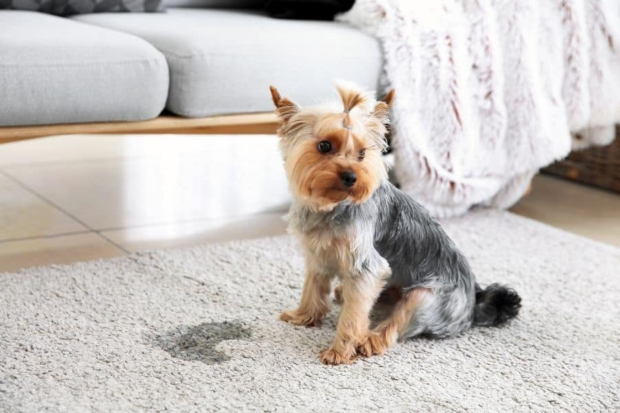 homemade carpet cleaner for pet stains